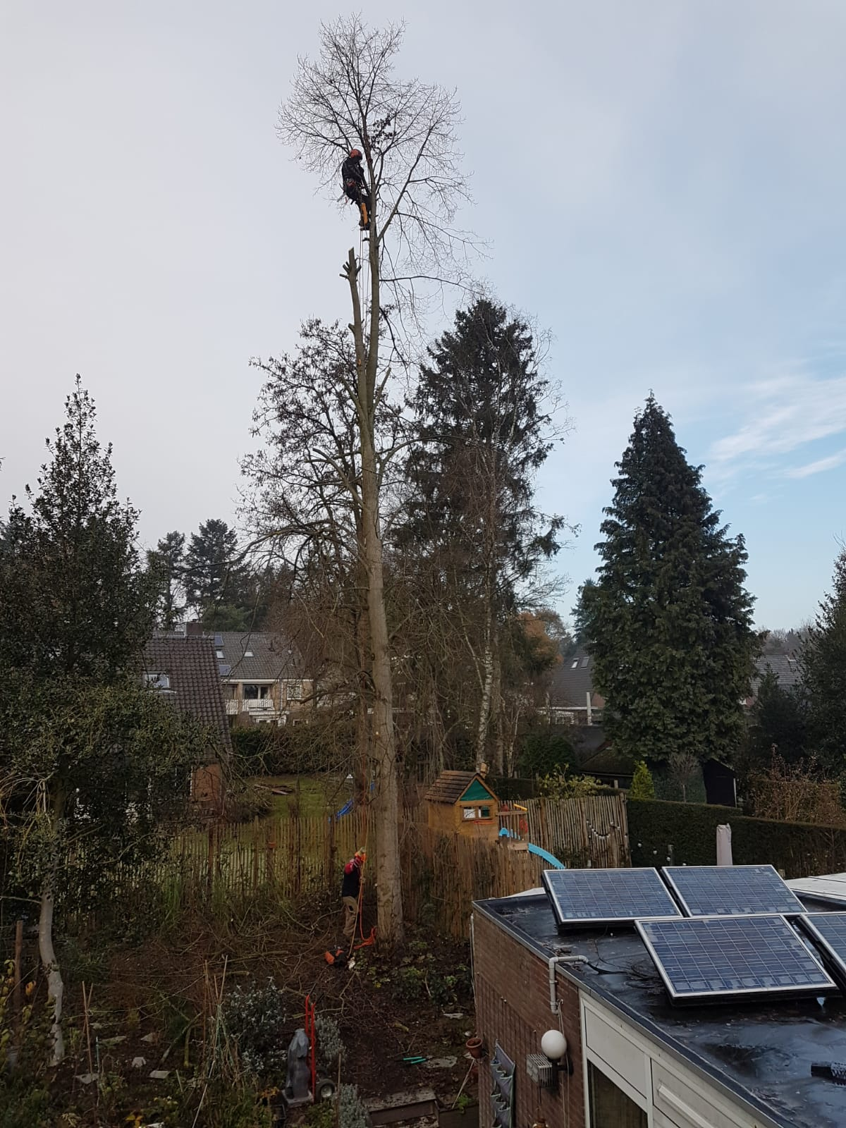You are currently viewing Pruning a lime tree