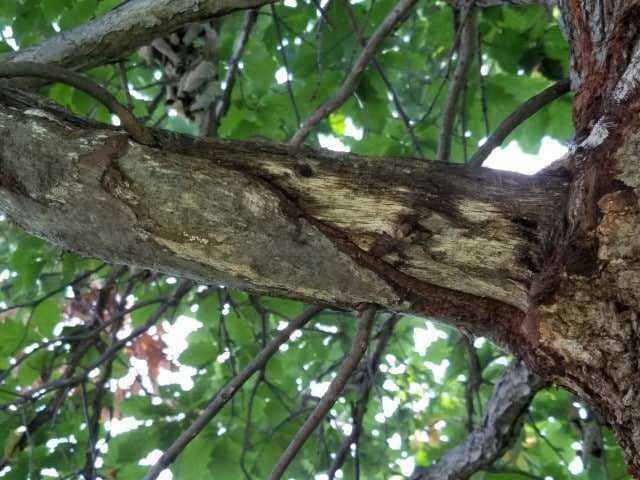 Eikenboom met dode tak