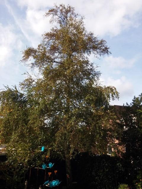 Berk snoeien in Landsmeer