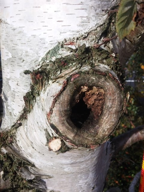 Berkenboom snoeiwond