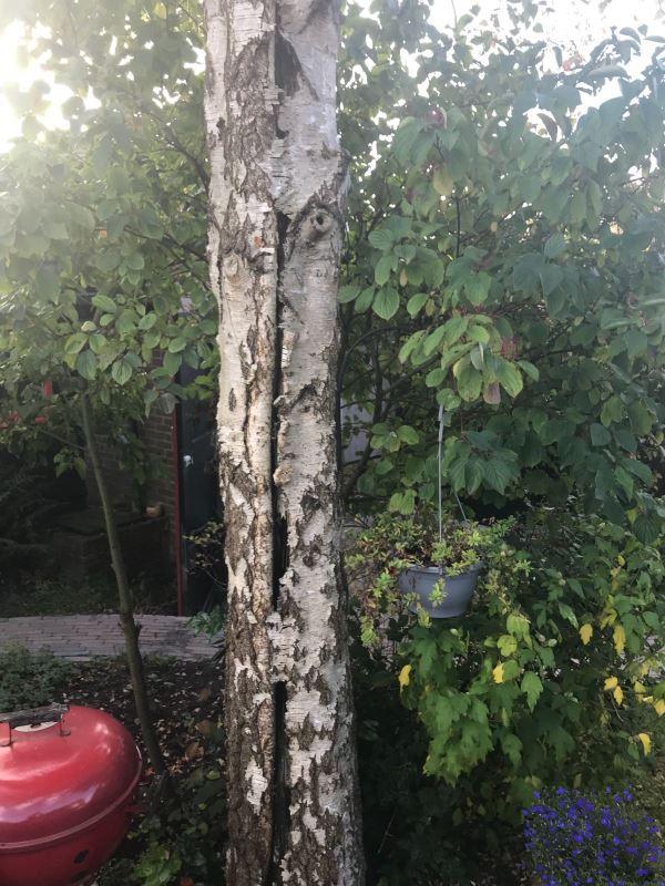 Boom probleem aangetaste berkenboom