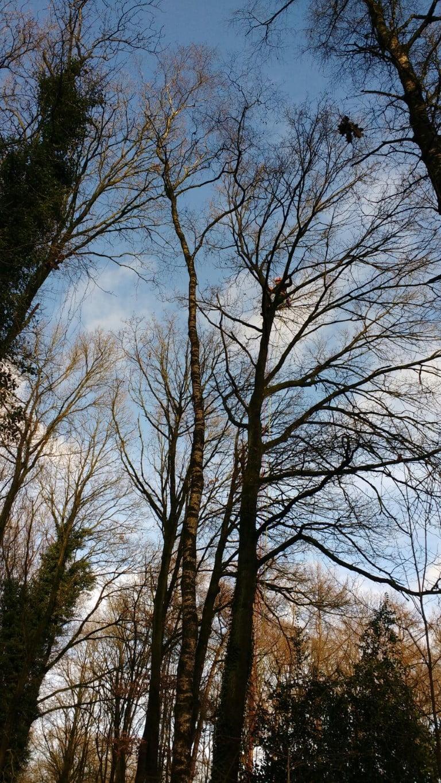 Boom kappen in Apeldoorn hoge eik