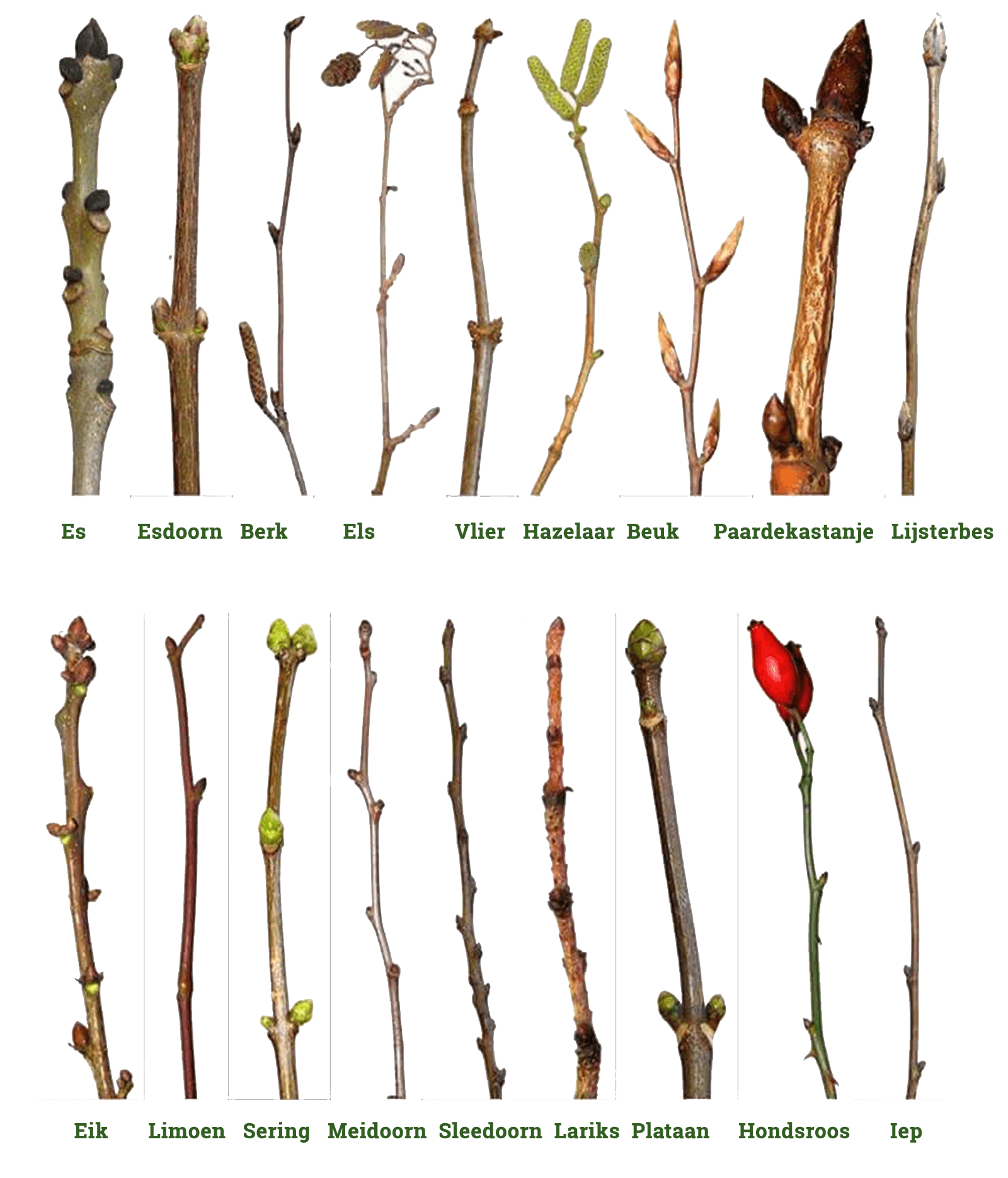 boomsoorten wintertwijgen