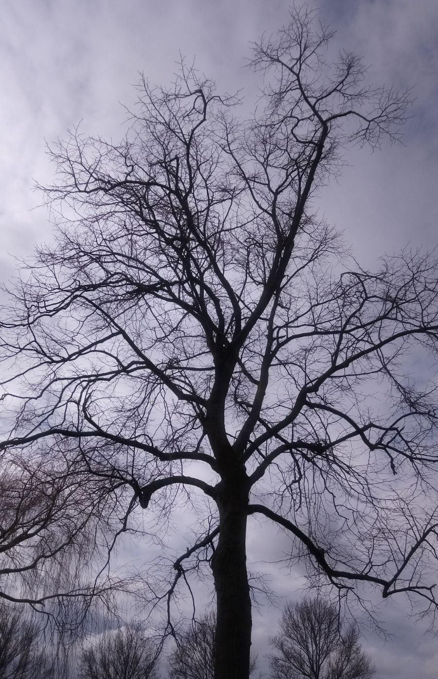 boomsoorten linde winter