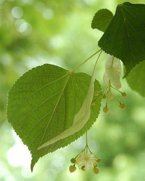 Lindenboom blad