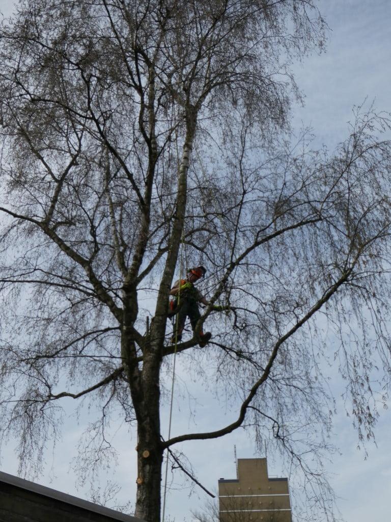 boom kappen in arnhem op een tak