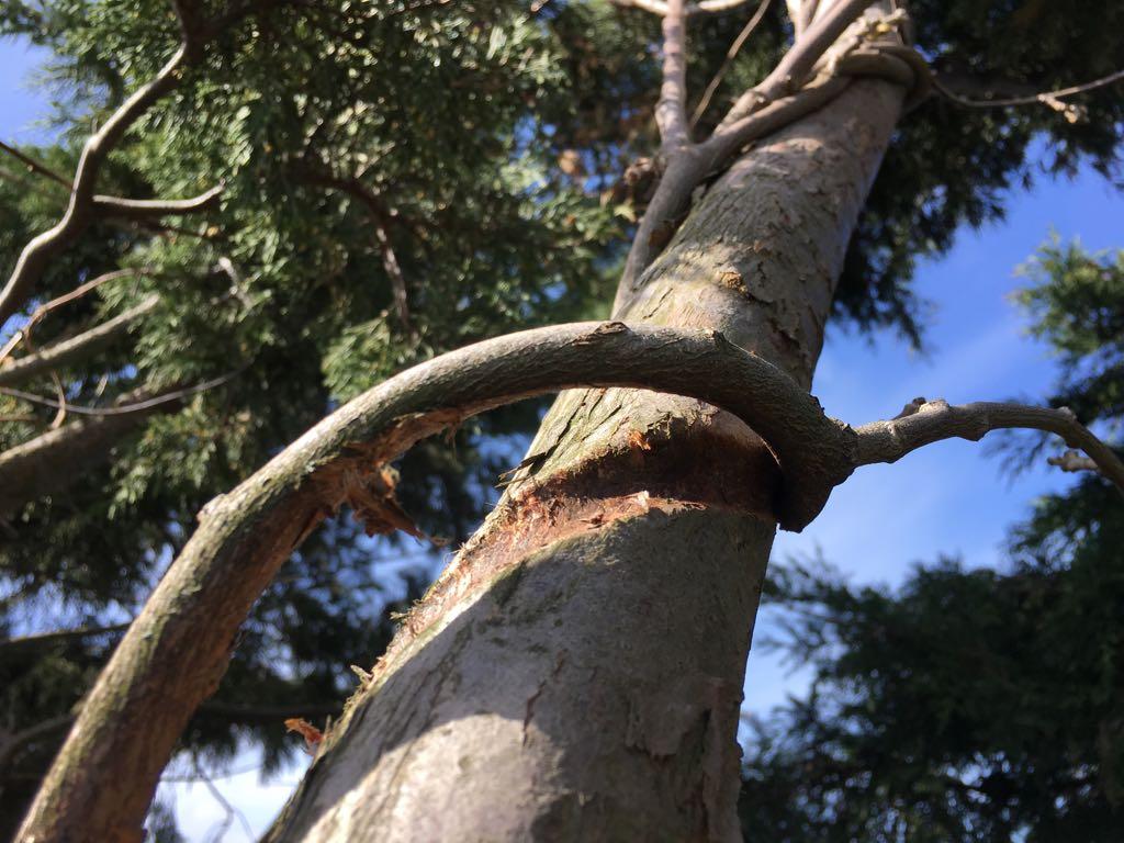 Gouden Regen wurgt boom