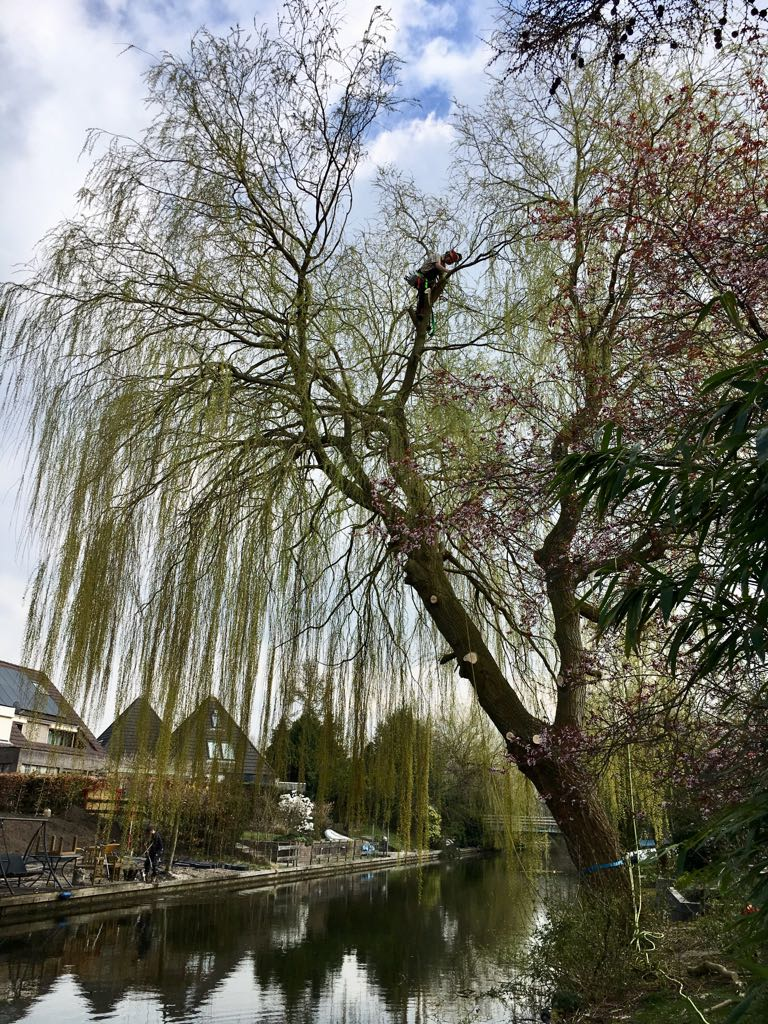 Grote treurwilg boven water gekapt in Almere