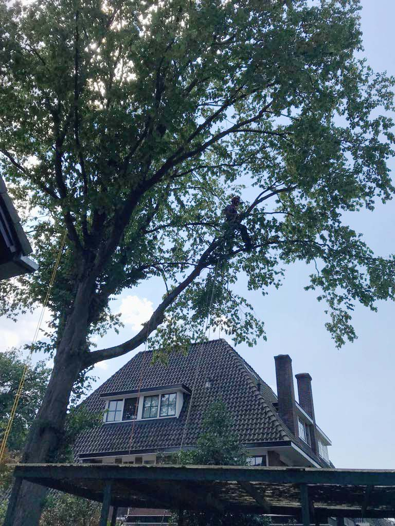 Snoeien van een haagbeuk in Hilversum