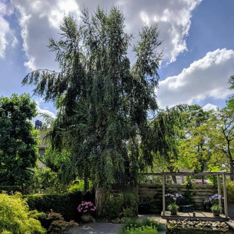 Berkenboom snoeien
