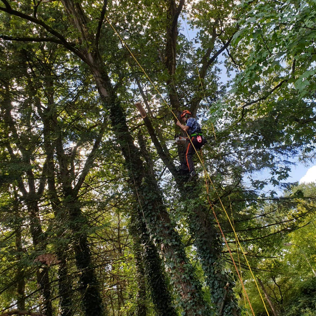 Eikenboom gesnoeid in Wolfheze