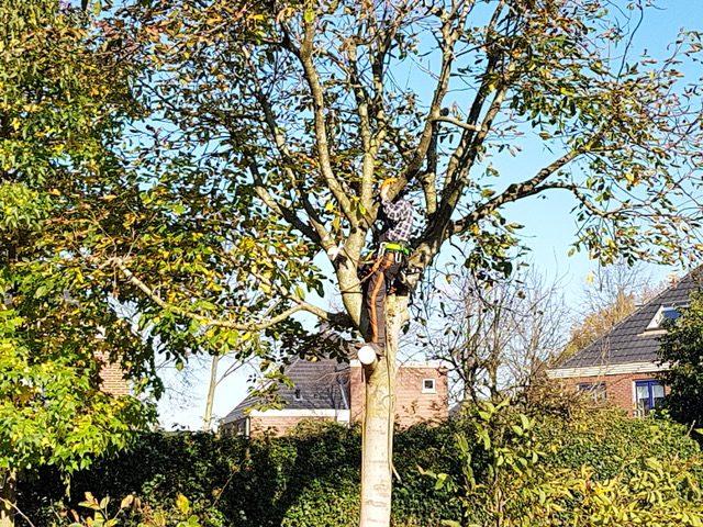 Notenboom in Apeldoorn