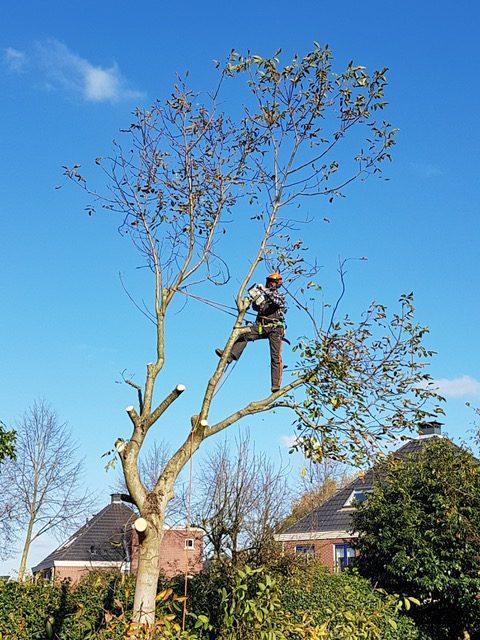 Notenboom in Apeldoorn gekapt