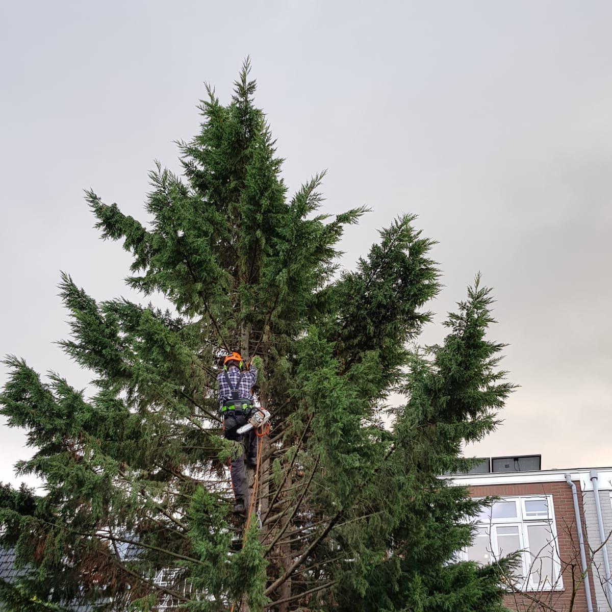 Boom snoeien in Den Haag