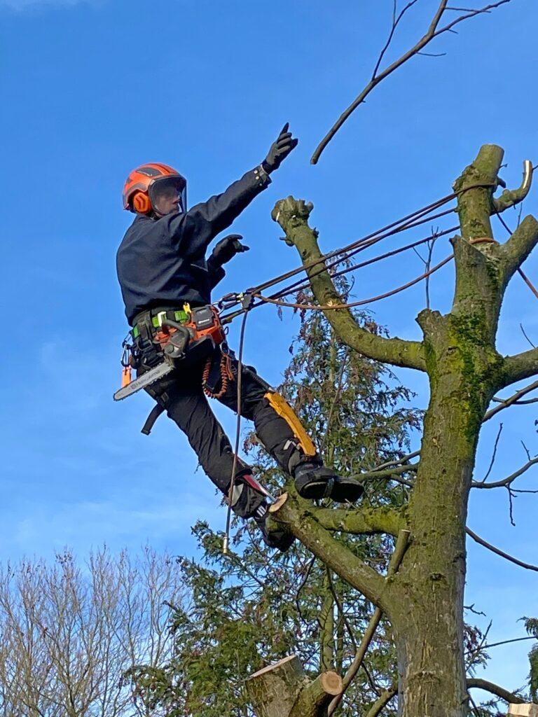 Bomen kappen in Diepenveen bij Deventer. Het werpen van een tak.