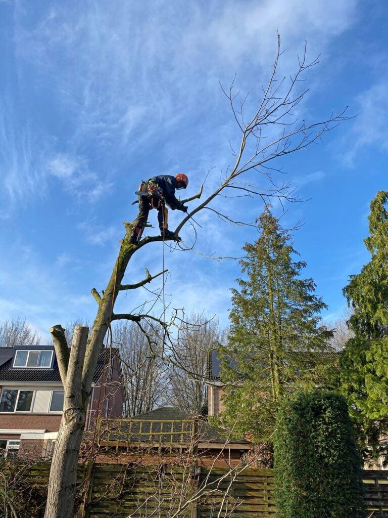Boom kappen in DIepenveen bij Deventer. De laatste tak afzagen.